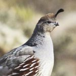 Clements_ Gambels Quail Female_ 8x10 canvas_ 40