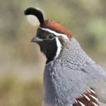 Clements_ Gambels Quail Male_ 8x10 canvas_ 40