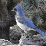 Clements_ Royal Scrub Jay_ 8x10 canvas_ 40